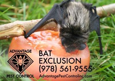 Bat Exclusion Topsfield, MA