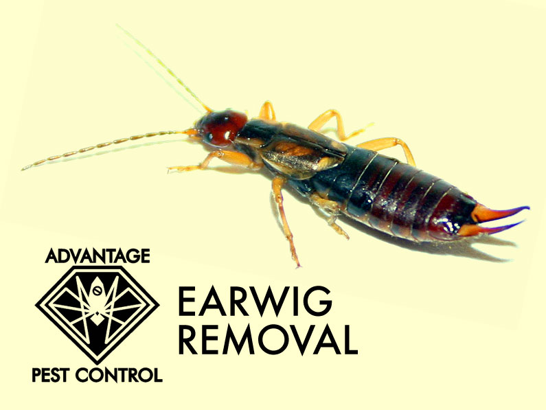 Earwigs Advantage Pest Control Inc