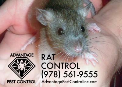 Rat Control Topsfield, MA