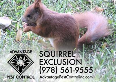 Squirrel Exclusion Topsfield, MA