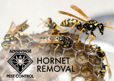 Hornet & Nest Removal in Manchester by the Sea, MA