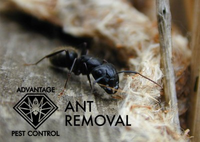 ant-removal-ma