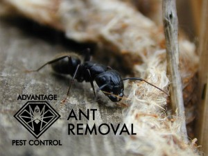 Ant removal in Manchester-by-the-Sea, MA