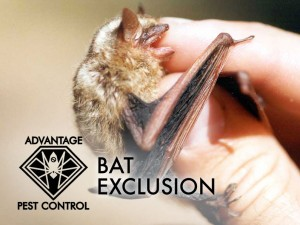 Bat exclusion in Manchester by the Sea, Massachusetts