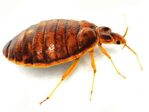 Bed Bug Exterminator in Greater Boston, MA