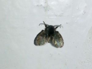 Drain Flies, moth flies