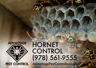 Hornet nest removal Topsfield, MA