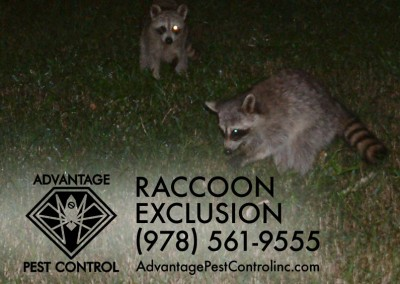 Raccoon Exclusion Topsfield, MA