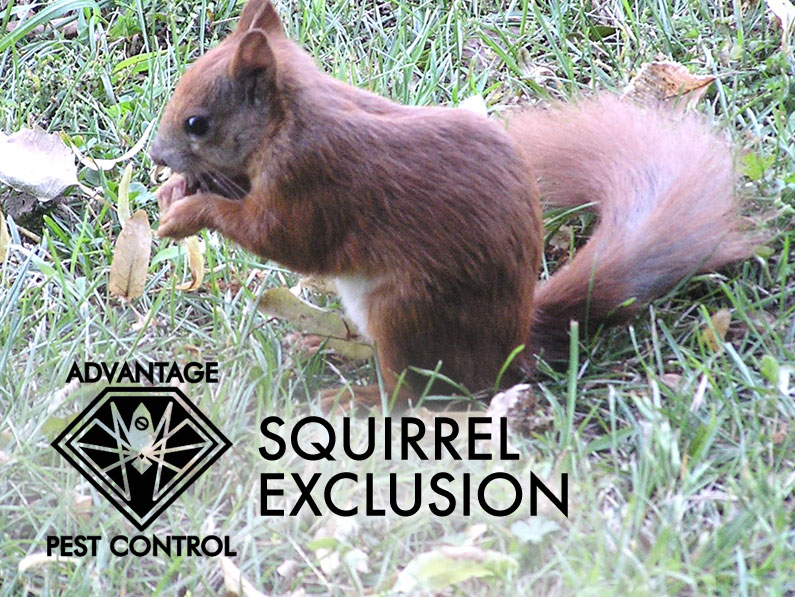 Squirrel exclusion service in Manchester and Topsfield, Massachusetts.