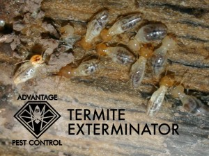 Termite exterminator in Manchester by the Sea, MA
